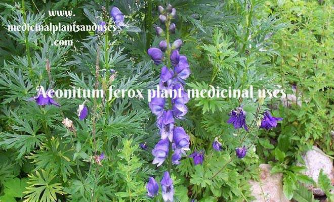 Aconitum ferox plant medicinal uses and images