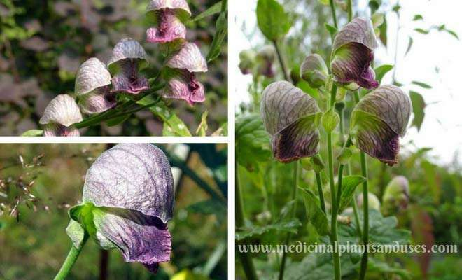 Aconitum heterophyllum flowers