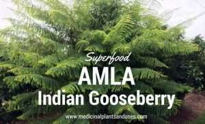 Amla (Indian Gooseberry) plant medicinal uses, benefits and photos