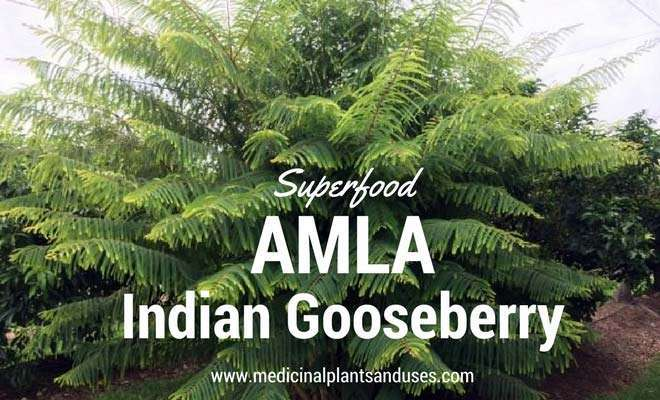 Amla (Indian Gooseberry) plant medicinal uses, benefits and photos