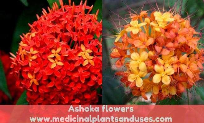 Ashoka flowers
