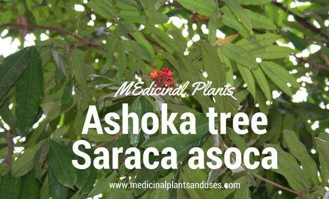 Ashoka Tree Medicinal Use Health Benefits And Photos