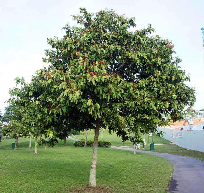 Ashoka tree photo