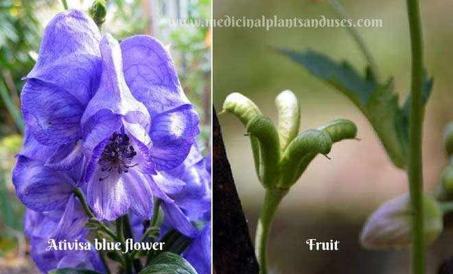 Ativisa blue flower and fruit