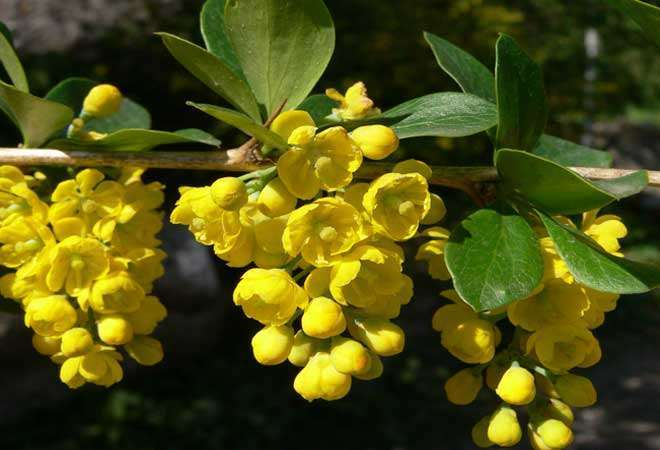 Berberis aristata flowers and leaves
