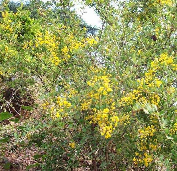 Berberis aristata plant