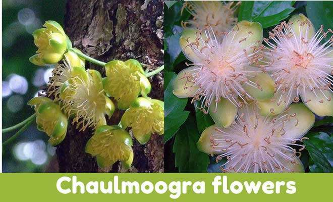 Chaulmoogra flowers