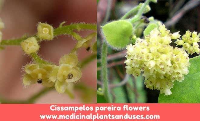 Cissampelos pareira flowers