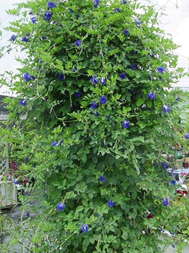 Clitoria ternatea plant