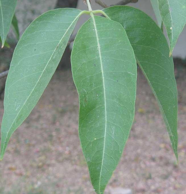 Crataeva nurvala leaves