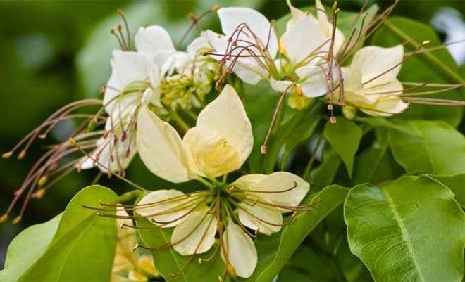 Crataeva religiosa flowers