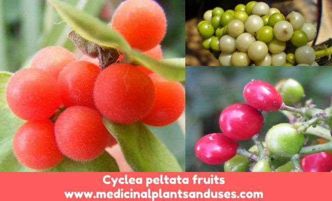 Cyclea peltata patha fruits
