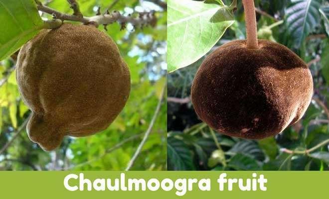Hydnocarpus Wightiana fruits