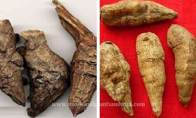 Indian Atees root