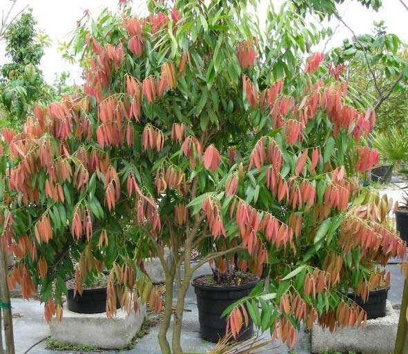 Nagkesar plant image