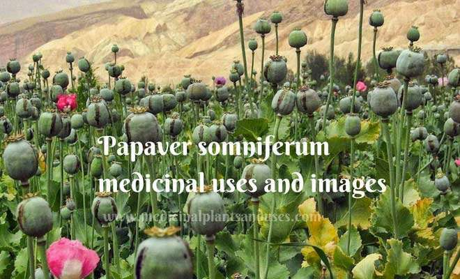 a study on opium poppy and its purposes Is close to announcing that its territory is free of opium poppy the efforts of the government,  continuing to monitor the situation through an annual study on.