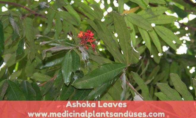 Saraca asoca leaves