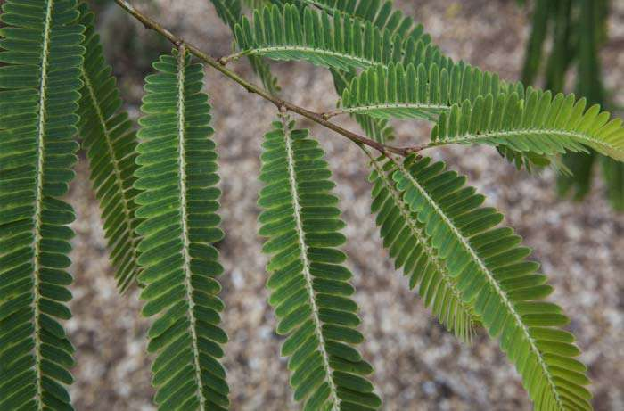 amalaki leaves