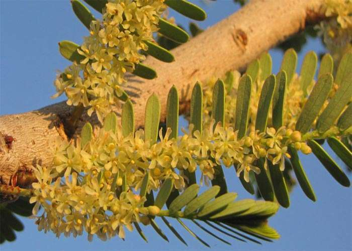 amla flowers and leaves