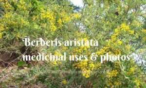 Berberis aristata common name, side effects, medicinal uses & photos