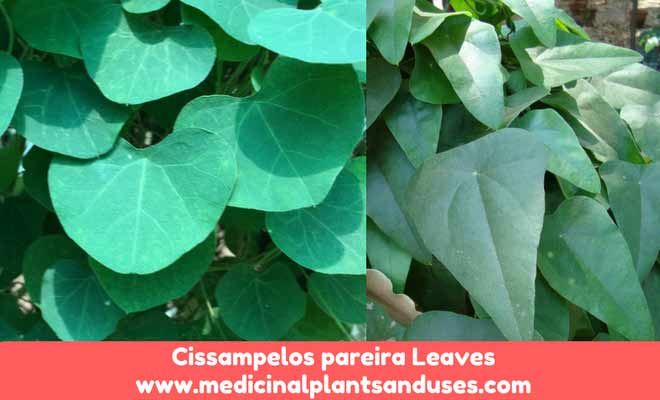 patha leaves
