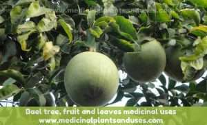 Bael tree, fruit and leaves medicinal uses (Aegle marmelos)