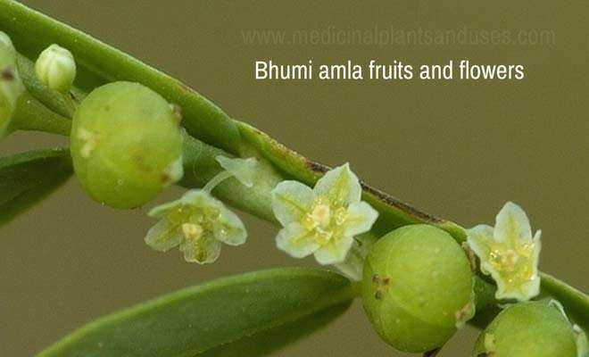 Bhumi amla fruits and flowers