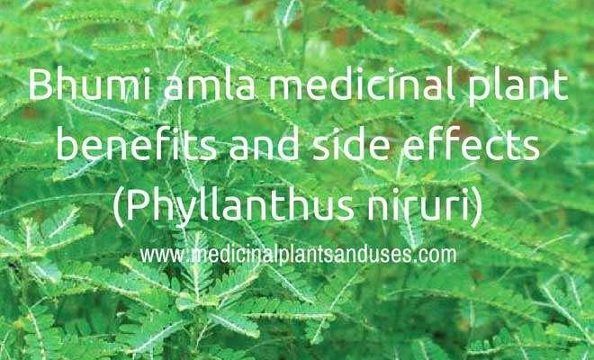 Bhumi amla medicinal plant benefits and side effects (Phyllanthus niruri)