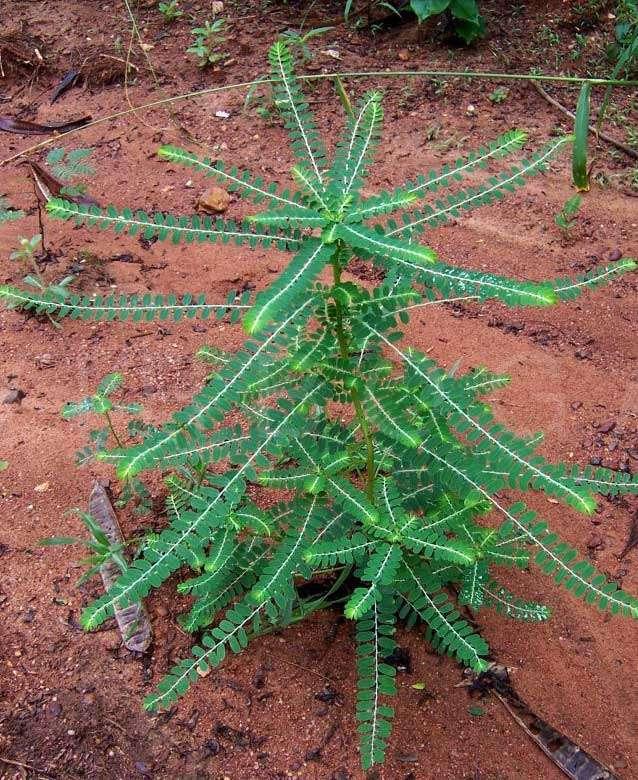 Bhumi amla plant-(Phyllanthus-niruri)