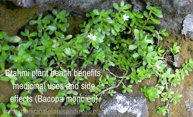 Brahmi plant health benefits, medicinal uses and side effects (Bacopa monnieri)