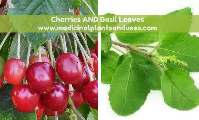 Cherries and basil leaves for diabetes treatment