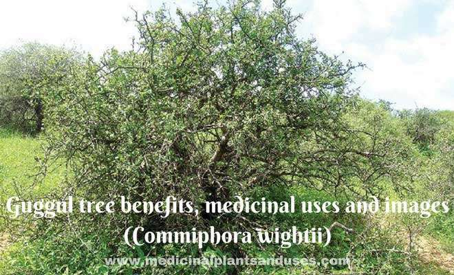 Guggul tree benefits, medicinal uses and images (Commiphora wightii)