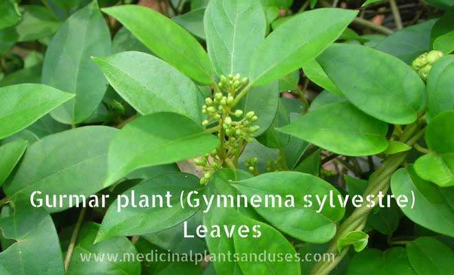 Gurmar (Gymnema sylvestre) leaves