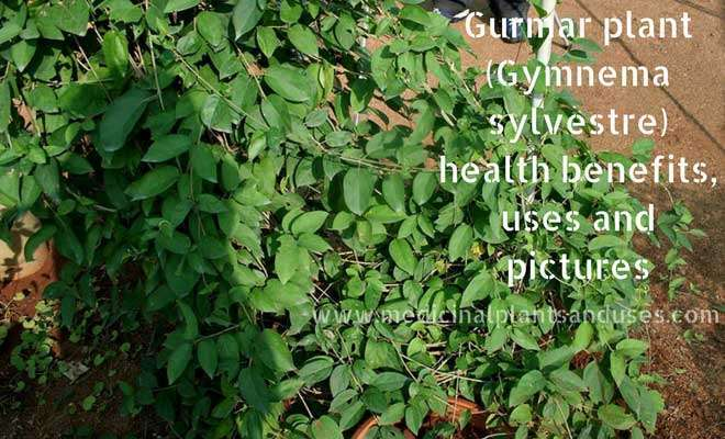 Gurmar plant (Gymnema sylvestre) health benefits, uses and pictures