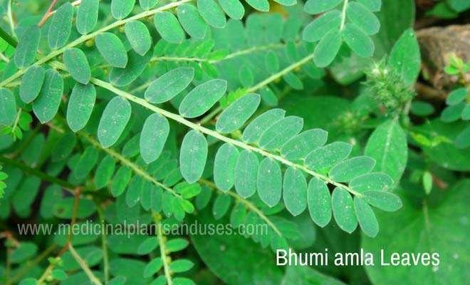 Phyllanthus niruri leaves