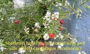 Shatavari benefits, medicinal uses and side effects (asparagus racemosus)