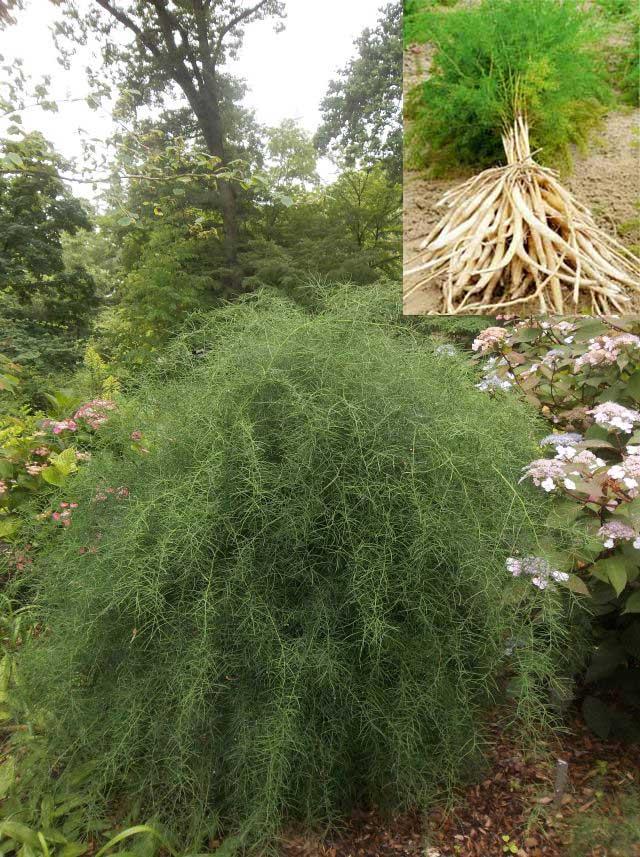 Shatavari plant (asparagus racemosus)