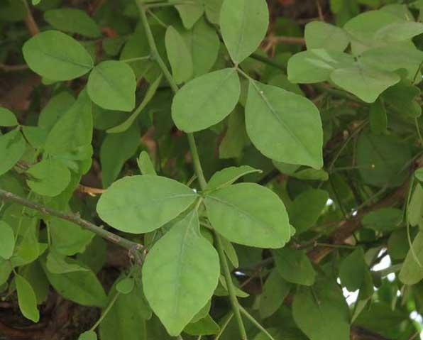 bael leaves