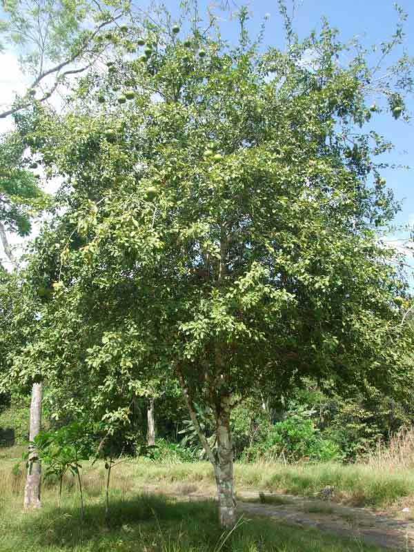 bael tree photo