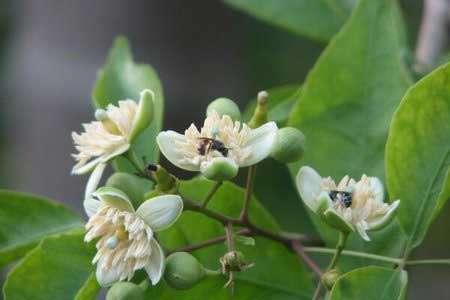 beal flower