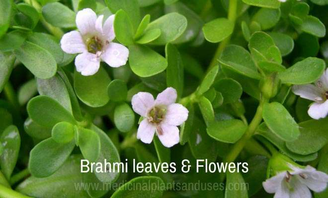 brahmi leaves and flowers
