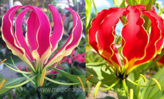 flame lily flowers