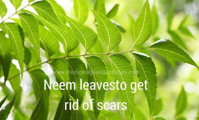 neem leaves to remove scar tissue