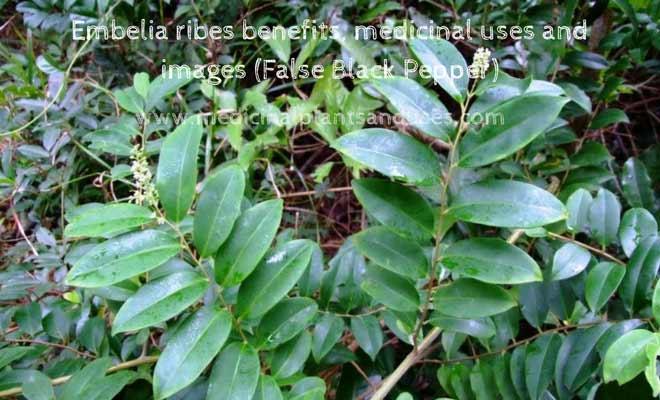 Embelia ribes benefits, medicinal uses and images