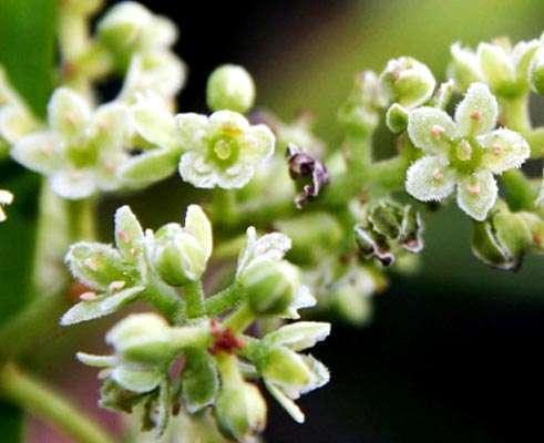 Embelia ribes flowers