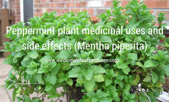 Peppermint plant medicinal uses and side effects (Mentha piperita)