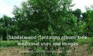 Sandalwood (Santalum album) tree medicinal uses