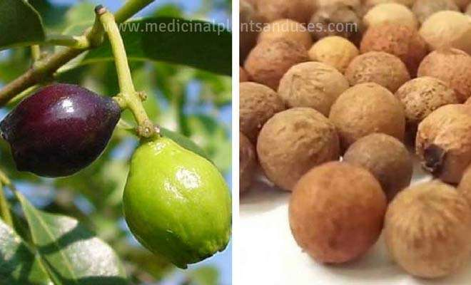 Sandalwood fruit seeds