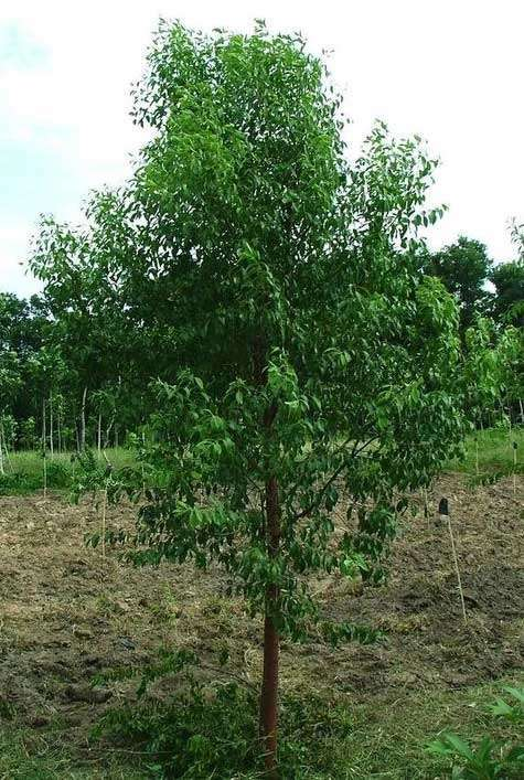 Sandalwood tree medicinal uses