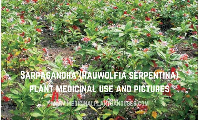 Sarpagandha (Rauwolfia serpentina) plant medicinal use and pictures